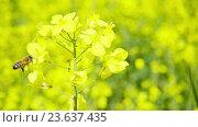 Купить «Пчела подлетает к цветущему рапсу», видеоролик № 23637435, снято 22 мая 2016 г. (c) Алексас Кведорас / Фотобанк Лори