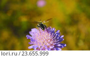 Купить «Пчела собирает нектар с полевых цветов. Замедленное видео», видеоролик № 23655999, снято 2 июля 2016 г. (c) Алексас Кведорас / Фотобанк Лори