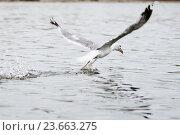 Купить «Большая чайка взлетает с воды», эксклюзивное фото № 23663275, снято 8 августа 2016 г. (c) Игорь Низов / Фотобанк Лори