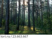 Утро в сосновом лесу. Стоковое фото, фотограф Дмитрий Голуб / Фотобанк Лори