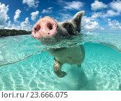 Купить «Wild, swiming pig on Big Majors Cay in The Bahamas», фото № 23666075, снято 19 сентября 2016 г. (c) Andrejs Pidjass / Фотобанк Лори