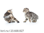 two funny small kittens playing with each other. Стоковое фото, фотограф Оксана Кузьмина / Фотобанк Лори