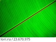 Купить «Фон. Текстура растительная. Лист банановой пальмы», фото № 23670975, снято 6 сентября 2016 г. (c) Татьяна Белова / Фотобанк Лори
