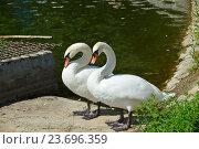 Купить «Два белых лебедя на Нижнем Лианозовском пруду в Лианозовском парке в Москве», эксклюзивное фото № 23696359, снято 6 августа 2016 г. (c) lana1501 / Фотобанк Лори