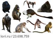 Купить «set of primates», фото № 23698759, снято 17 сентября 2019 г. (c) Яков Филимонов / Фотобанк Лори