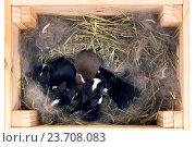Купить «Новорожденные крольчата породы Голландский карликовый в ящике с подстилкой  из сухой травы и пуха. Малышам 7 дней от роду.», фото № 23708083, снято 4 октября 2016 г. (c) Ирина Кожемякина / Фотобанк Лори