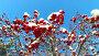 Гроздья рябины под снегом / Looking up through the rowan-tree branches and red berries clusters with snow caps at the sky, видеоролик № 23721059, снято 25 декабря 2015 г. (c) Serg Zastavkin / Фотобанк Лори