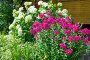 Розовые флоксы (лат. Phlox) и Гортензия садовая (лат. Hydrangea paniculata) на дачном участке, эксклюзивное фото № 23721423, снято 16 июля 2016 г. (c) Елена Коромыслова / Фотобанк Лори