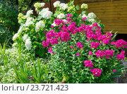 Купить «Розовые флоксы (лат. Phlox) и Гортензия садовая (лат. Hydrangea paniculata) на дачном участке», эксклюзивное фото № 23721423, снято 16 июля 2016 г. (c) Елена Коромыслова / Фотобанк Лори