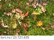 Осенний ковёр из листьев дуба. Стоковое фото, фотограф Ольга Логачева / Фотобанк Лори