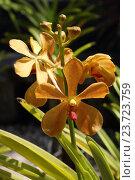 Оранжевая орхидея. Стоковое фото, фотограф Сергей Тихомиров / Фотобанк Лори