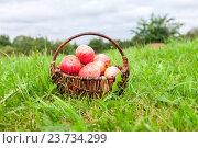 Купить «Деревянная плетеная корзина со спелыми свежими яблоками стоит на траве в саду», фото № 23734299, снято 23 мая 2018 г. (c) FotograFF / Фотобанк Лори
