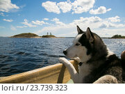 Пес породы хаски в лодке на ладожском озере, фото № 23739323, снято 10 июля 2016 г. (c) Сергей Александров / Фотобанк Лори