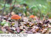 Купить «Съедобный гриб подосиновик в осеннем лесу», фото № 23742787, снято 1 октября 2016 г. (c) Татьяна Егорова / Фотобанк Лори