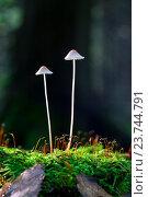 Два гриба на тонких ножках и ковёр мха. Стоковое фото, фотограф Mike The / Фотобанк Лори