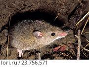 A field mouse. Стоковое фото, фотограф Ephotocorp / age Fotostock / Фотобанк Лори