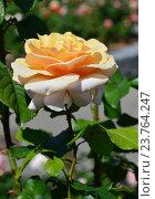 Роза чайно-гибридная Шимэн (лат. Chimene) Стоковое фото, фотограф lana1501 / Фотобанк Лори