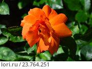 Роза чайно-гибридная Спаркл (лат. Sparkle) Стоковое фото, фотограф lana1501 / Фотобанк Лори