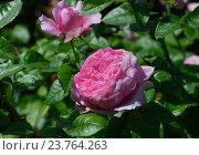 Роза французская кустарниковая Шанталь Мерье (лат. Chantal Merieux) Стоковое фото, фотограф lana1501 / Фотобанк Лори