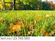 Купить «Опавшие кленовые листья на траве в осеннем парке на фоне размытых деревьев -  осенний пейзаж», фото № 23765583, снято 3 октября 2016 г. (c) Зезелина Марина / Фотобанк Лори
