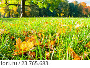 Купить «Осенний парк в солнечную погоду - опавшие кленовые листья на траве на фоне размытого парка. Осенний пейзаж», фото № 23765683, снято 3 октября 2016 г. (c) Зезелина Марина / Фотобанк Лори