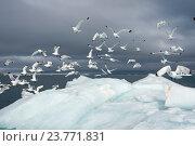 Купить «Чайки на айсберге. Земля Франца-Иосифа», фото № 23771831, снято 29 июля 2016 г. (c) Vladimir / Фотобанк Лори