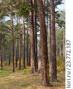 Осень в сосновом лесу. Стоковое фото, фотограф Константин Мезенцев / Фотобанк Лори