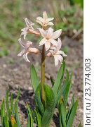 Розовый гиацинт (лат. Hyacinthus) крупным планом. Стоковое фото, фотограф Елена Коромыслова / Фотобанк Лори