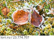 Купить «Первые морозы, иней на траве и осенних листьях», фото № 23774707, снято 1 октября 2016 г. (c) Алексей Маринченко / Фотобанк Лори