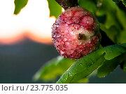 Купить «Дубовый галл в росе», фото № 23775035, снято 2 июня 2020 г. (c) Mike The / Фотобанк Лори