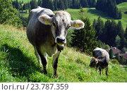 Купить «Корова на склоне», фото № 23787359, снято 8 августа 2015 г. (c) Валерий Шанин / Фотобанк Лори