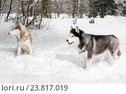 Самоед и хаски на снегу в лесу. Стоковое фото, фотограф Савчук Алексей / Фотобанк Лори