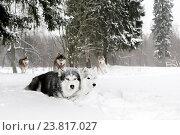 Собаки лайки в снежном лесу. Стоковое фото, фотограф Савчук Алексей / Фотобанк Лори