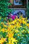 Цветущие жёлтые Лилии на дачном участке (lat. Lilium), фото № 23824231, снято 10 июля 2016 г. (c) Евгений Мухортов / Фотобанк Лори