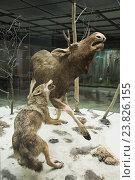 Купить «Экспозиция охота волков на лося в Государственном Дарвиновском музее», эксклюзивное фото № 23826155, снято 19 июля 2016 г. (c) Алёшина Оксана / Фотобанк Лори