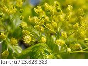Купить «Acer platanoides, Norway maple», фото № 23828383, снято 21 января 2018 г. (c) age Fotostock / Фотобанк Лори