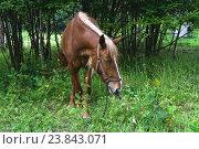 Купить «Лошадь пасётся», эксклюзивное фото № 23843071, снято 15 июля 2016 г. (c) Алёшина Оксана / Фотобанк Лори