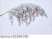 Купить «Withered grass on the snow», фото № 23859199, снято 2 марта 2015 г. (c) Serg Zastavkin / Фотобанк Лори