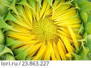 Купить «Sunflower, Helianthus annuus, Switzerland», фото № 23863227, снято 21 июля 2016 г. (c) age Fotostock / Фотобанк Лори