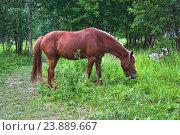 Купить «Лошадь пасётся на лужайке», эксклюзивное фото № 23889667, снято 15 июля 2016 г. (c) Алёшина Оксана / Фотобанк Лори