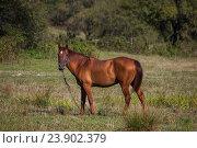 Купить «Лошадь, пасущаяся на поле», эксклюзивное фото № 23902379, снято 19 сентября 2016 г. (c) Литвяк Игорь / Фотобанк Лори