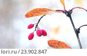 Купить «Red berries of berberis on branch with yellow autumn leaves», видеоролик № 23902847, снято 21 октября 2016 г. (c) Serg Zastavkin / Фотобанк Лори
