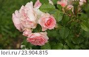 Купить «blossoming roses plant», видеоролик № 23904815, снято 21 июня 2016 г. (c) Яков Филимонов / Фотобанк Лори