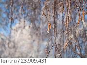 Купить «Березовые ветки и сережки, покрытые льдом», фото № 23909431, снято 22 декабря 2009 г. (c) Юлия Олейник / Фотобанк Лори