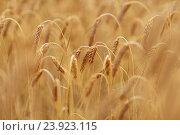 Купить «cereal field with spikelets of ripe rye or wheat», фото № 23923115, снято 31 июля 2016 г. (c) Syda Productions / Фотобанк Лори