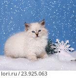 Купить «Сибирский котенок, новогодняя тема для открытки», фото № 23925063, снято 17 января 2016 г. (c) ElenArt / Фотобанк Лори