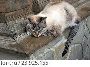 Спящая кошка. Стоковое фото, фотограф Скитева Екатерина / Фотобанк Лори