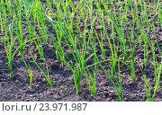 Купить «Зеленый лук на грядке», фото № 23971987, снято 30 мая 2010 г. (c) Тупиков Максим Борисович / Фотобанк Лори