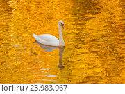 Купить «Лебедь в пруду с отражением осенних деревьев», фото № 23983967, снято 1 октября 2016 г. (c) Дмитрий Тищенко / Фотобанк Лори