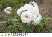 Почвопокровная белая роза Schneeflocke. Стоковое фото, фотограф Галина Хорошман / Фотобанк Лори